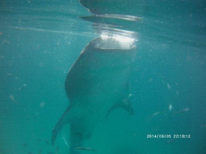 1 - whaleshark - oslob